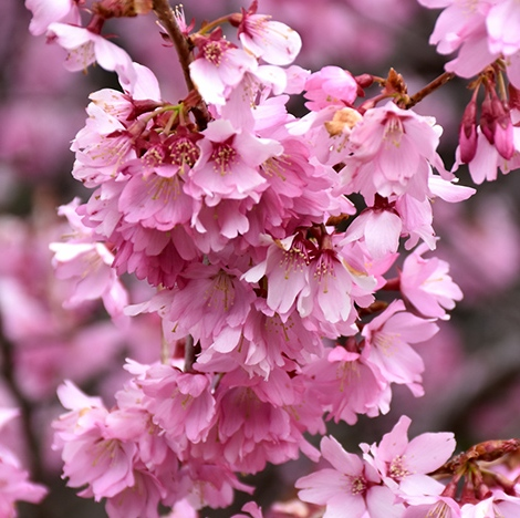 Prunus x incam 'Dream Catcher'