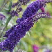 (26/08/2019) Buddleja davidii 'Blue Horizon'  added by Shoot)