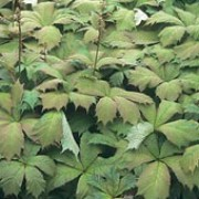 Rodgersia podophylla added by Shoot)