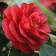 (31/08/2019) Camellia japonica 'Fircone' added by Shoot)