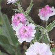 (03/09/2019) Lychnis coronaria 'Angel's Blush' added by Shoot)
