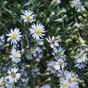 (04/09/2019) Symphyotrichum 'Diamond Jubilee' added by Shoot)