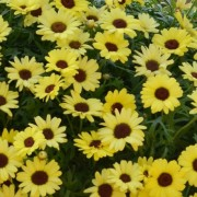 (18/09/2019) Argyranthemum 'Grandaisy Bright Yellow' (Grandaisy Series) added by Shoot)