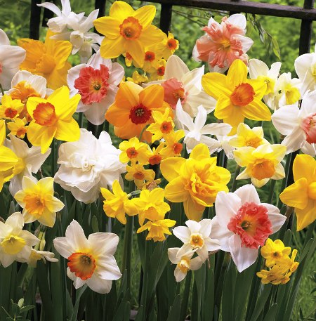 Narcissus (any hardy variety)