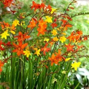 (02/10/2019) Crocosmia (any variety) added by Shoot)