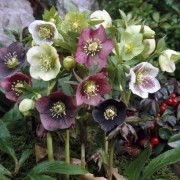 (02/10/2019) Helleborus (any H. x hybridus, H. orientalis, or H. niger variety) added by Shoot)