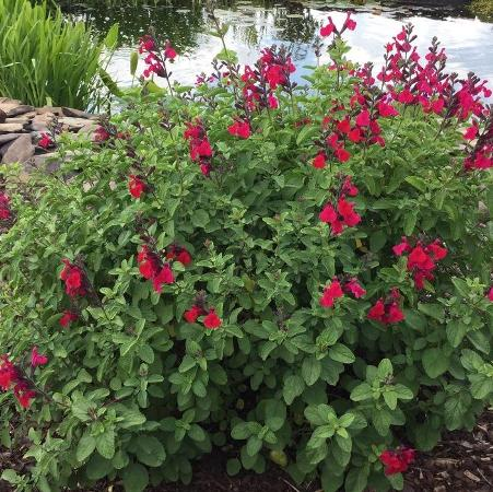 Salvia (any hardy shrub variety)