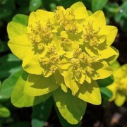 (04/10/2019) Euphorbia (any hardy, deciduous perennial) added by Shoot)