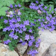 (08/10/2019) Campanula (any deciduous, rock garden variety) added by Shoot)