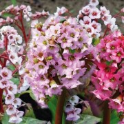 (10/10/2019) Bergenia (any variety) added by Shoot)