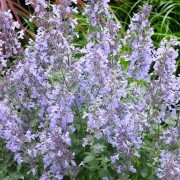 (10/10/2019) Nepeta (any N. x faasenii, N. nervosa, or N. racemosa variety) added by Shoot)