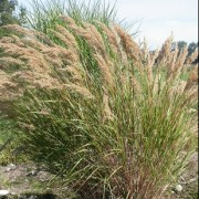 (10/10/2019) Stipa (any deciduous variety) added by Shoot)