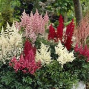 (15/10/2019) Astilbe (any variety) added by Shoot)