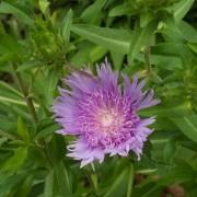 (21/10/2019) Stokesia laevis  added by Shoot)