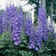 'Cassius' is a perennial with an erect habit.  Its divided foliage is dark-green.  In summer it bears spikes of  semi-double, deep-blue, purple-tinged flowers.