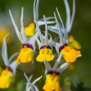 (01/11/2019) Nemesia cheiranthus 'Masquerade' added by Shoot)
