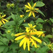 (05/11/2019) Rudbeckia laciniata var. laciniata added by Shoot)