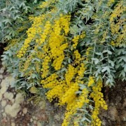(06/11/2019) Acacia baileyana 'Prostrate' added by Shoot)