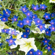 (08/11/2019) Anagallis monellii 'Gentian Blue' added by Shoot)