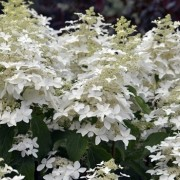 (14/11/2019) Hydrangea paniculata 'Perle d'Automne' added by Shoot)