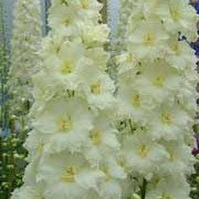 'Sungleam' is a perennial with a tall, erect habit.  Its divided foliage is dark-green.  In summer it bears racemes of semi-double, yellow-tinged, creamy-white flowers with yellow eyes. Delphinium 'Sungleam' added by Shoot)