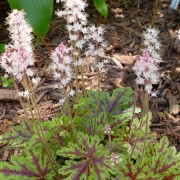 (04/12/2019) Tiarella 'Sylvan Lace' (American Trial Series) added by Shoot)