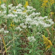(20/12/2019) Eupatorium altissimum added by Shoot)