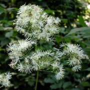 (23/12/2019) Thalictrum pubescens added by Shoot)
