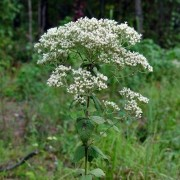 (08/01/2020) Eupatorium rotundifolium added by Shoot)