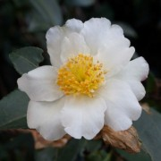 (09/01/2020) Camellia sasanqua 'Kenkyo' added by Shoot)