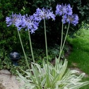 (12/02/2020) Agapanthus 'Blue Panache' added by Shoot)