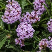 (13/02/2020) Verbena bonariensis 'Meteor Shower' added by Shoot)