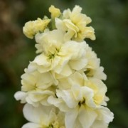 (20/02/2020) Matthiola incana 'Miracle Yellow' (Miracle Series) added by Shoot)