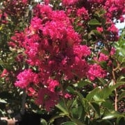 (24/02/2020) Lagerstroemia 'Tonto' added by Shoot)