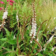 (26/02/2020) Persicaria amplexicaulis 'White Eastfield' added by Shoot)