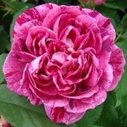 (10/03/2020) Rosa 'Commandant Beaurepaire' added by Shoot)