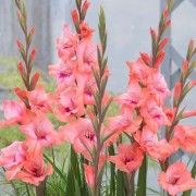 (30/03/2020) Gladiolus 'Whitney' added by Shoot)
