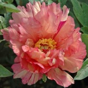 (30/03/2020) Paeonia 'Sonoma Kaleidoscope' added by Shoot)
