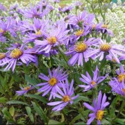 (03/04/2020) Aster amellus 'Sonora' added by Shoot)