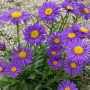 (07/04/2020) Aster alpinus 'Dunkle Schone' added by Shoot)