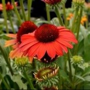 (07/04/2020) Echinacea 'SunSeekers Coral' (SunSeekers Series) added by Shoot)