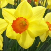 (08/04/2020) Narcissus 'Brackenhurst' added by Shoot)