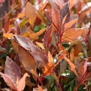 (09/04/2020) Photinia x fraseri 'Chico' added by Shoot)