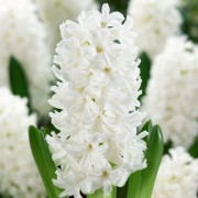 (13/04/2020) Hyacinthus orientalis 'Aiolos' added by Shoot)