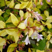 (15/04/2020) Abelia x grandiflora 'Gold Spot' added by Shoot)