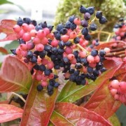 (17/04/2020) Viburnum nudum 'Brandywine' added by Shoot)