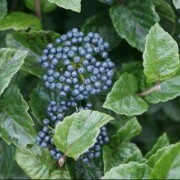 (17/04/2020) Viburnum bracteatum 'All That Glitters' added by Shoot)