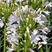 (22/04/2020) Agapanthus 'Lilibet' added by Shoot)