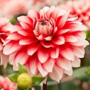 (23/04/2020) Dahlia 'Larry's Love' added by Shoot)