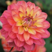 (23/04/2020) Dahlia 'Melody Allegro' added by Shoot)
